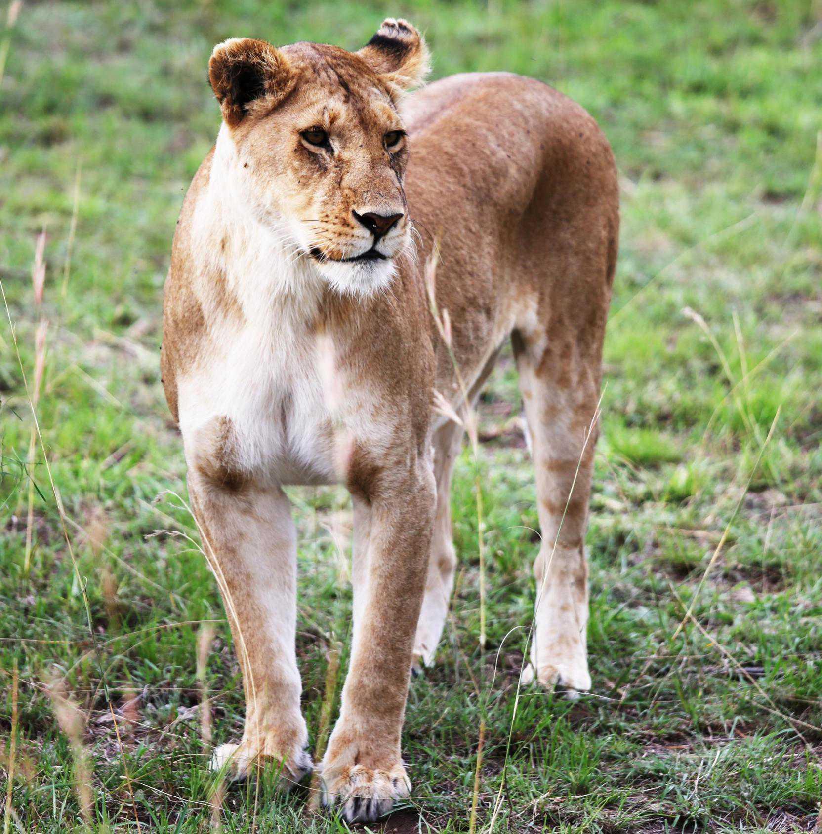 Safari, lion au Kenya